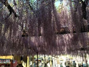 黒木町の藤の大棚
